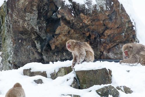 Snow Monkey