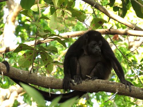 mammal monkey mono rama mamífero aullador