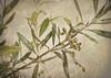 Olea europaea / Olives