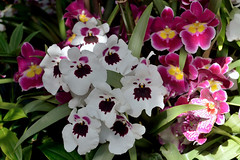 Interesting Pansy Orchids