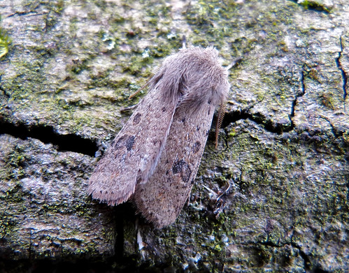 Small Quaker Orthosia cruda Tophill Low NR, East Yorkshire March 2016