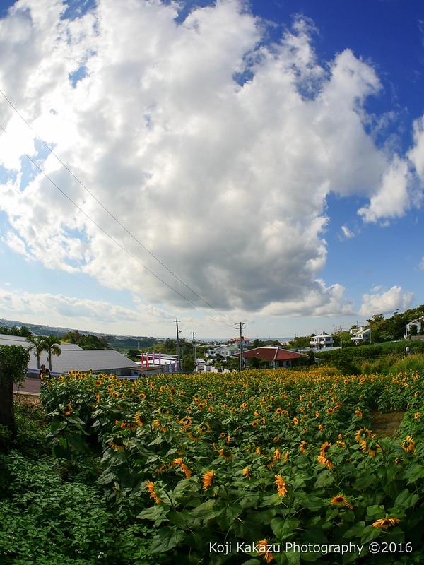 沖縄県北中城村のひまわり-90