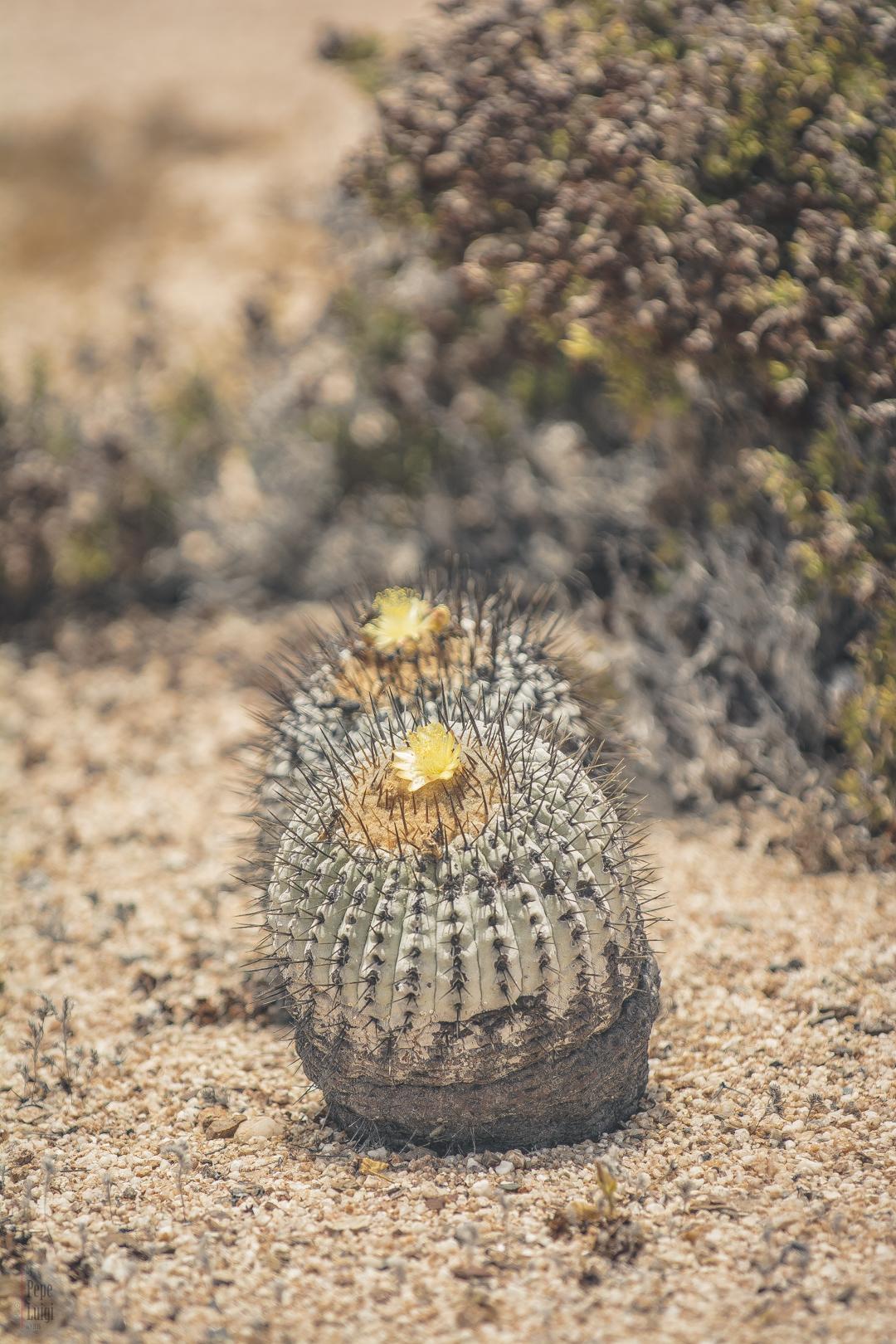 Copiapoa cinerea var. columna alba | Parque Nacional Pan de Azúcar