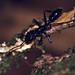 Small photo of Bullet Ant (Paraponera clavata)