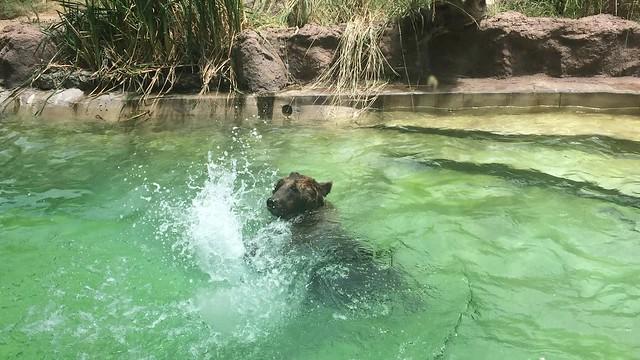 Splish Splash Grizzly