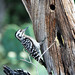 Small photo of Ladder-backed Woodpecker. NRCS photo by Beverly Moseley.