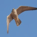 Peregrine Falcon (Falco peregrinus) by markkilner