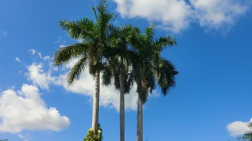 Mexico - Chichén Itzá; Palm trees of Yucatan