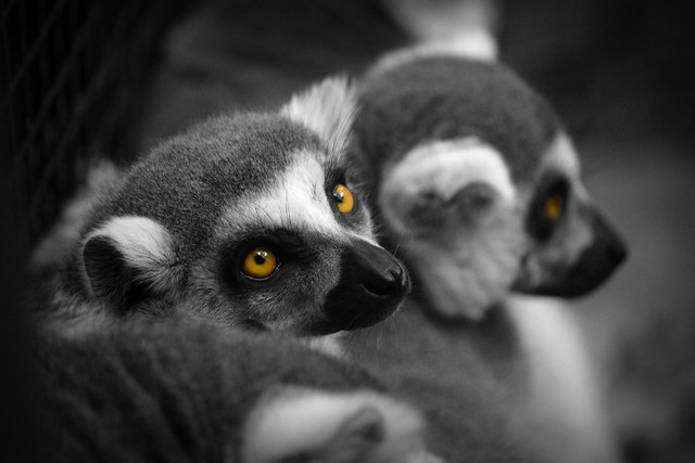 Lemur II