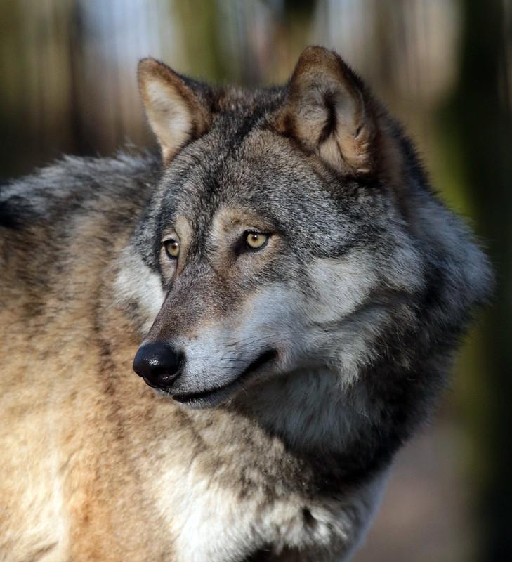 european wolf hoenderdaell JN6A4990