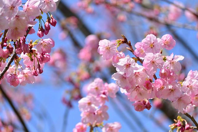 サクラ Cherry blossoms-ヨウコウ(陽光)
