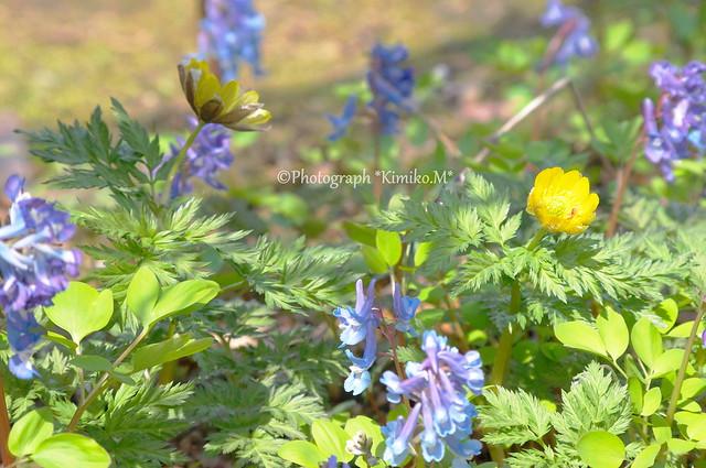 Spring ephemeral③