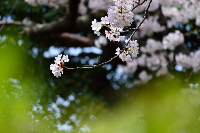 サクラ Cherry blossoms