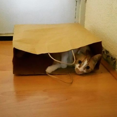 Playing hide and seek #meeshathecat #meesha #cutenessoverload #catsofinstagram #catshatemondays #thecatisoutofthebag #thecatisinthebag #hideandseek #kitty #cats
