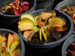 Venus's flytraps, Dionea muscipula