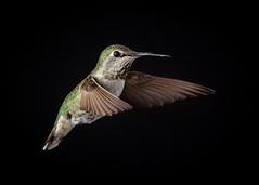 Annas Hummingbird (Female or Juvenile)
