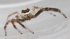 Jumping spider (Tribe: Plexippini)