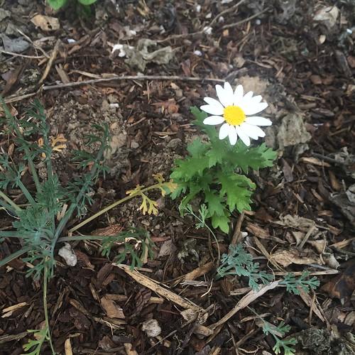 """去年植わっていた花(=""""売り出し時に取ってつけたように植えられた花"""")のこぼれ種から出てきた花と、私がばら撒いたカリフォルニア・ポピー"""