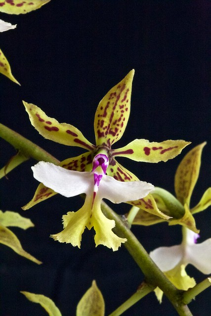 Epidendrum standfordianum 24938239129_42a58fb5af_z