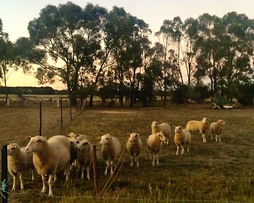055/365 • waiting for their dinner • #055_2016 #sheep #latergram #gumtrees #housesitting #Summer2016 #morningtonpeninsula