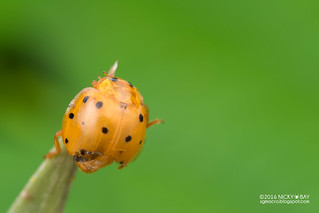 Ladybird (Coccinellidae) - DSC_3010