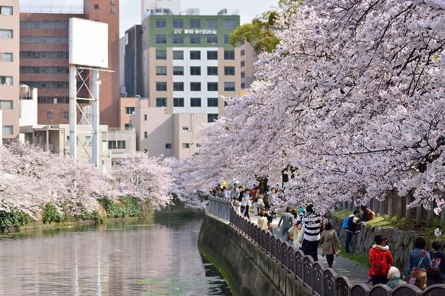 桜並木_天神中央公園