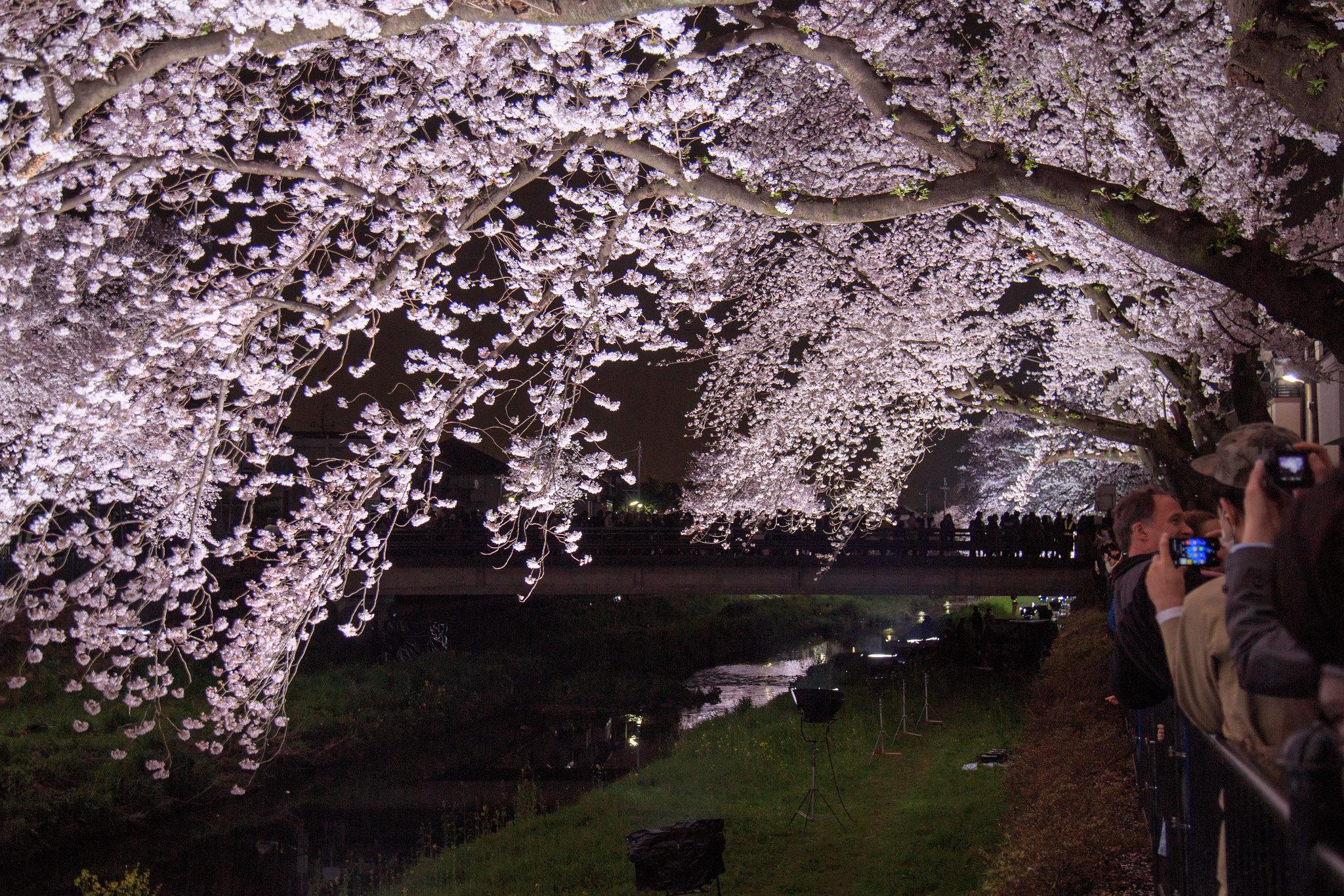 2016-04-05 野川桜ライトアップ 005