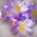 pretty in purple by Nancy Rose