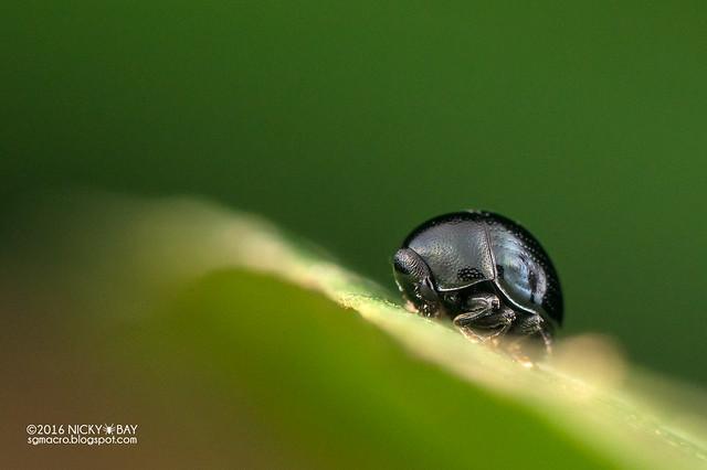 Leaf beetle? (Chrysomelidae?) - DSC_6100