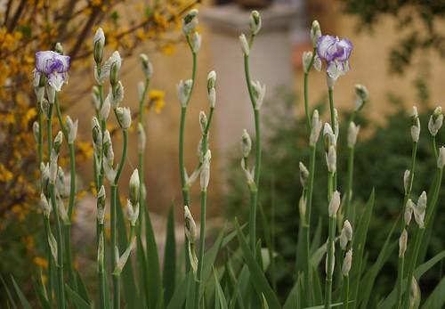 Iris swertii ou 'Swerti' - coll. 1612 25958167963_ae26f082d3