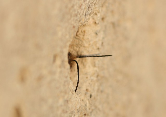 Osmia cornifrons