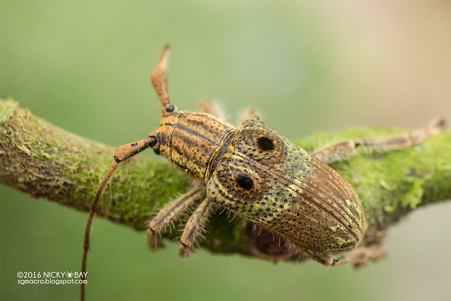 Longhorn beetle (Dystasia cf. circulata) - DSC_6927