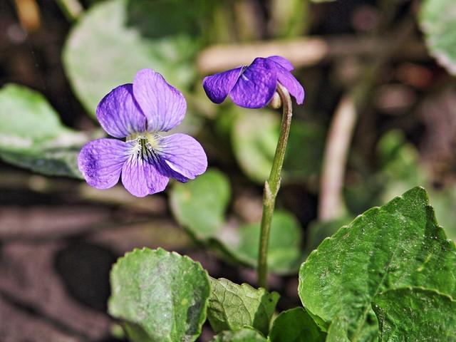 Blue Violets 20160418