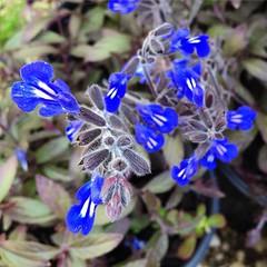 Salvia bicolor. #salvia #partsun #partshade #perennial #satx #sanantonio #spring #spring2016 #blueflowers #flowerstagram #flowersofinstagram #RainbowGardens