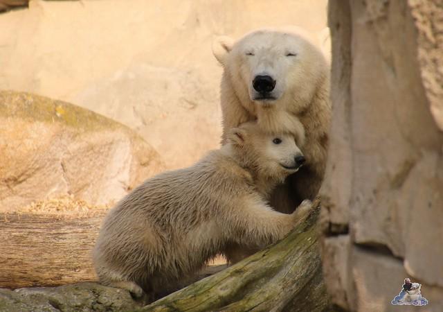 Eisbär Lili im Zoo am Meer Bremerhaven 09.04.2016 Teil 1  011