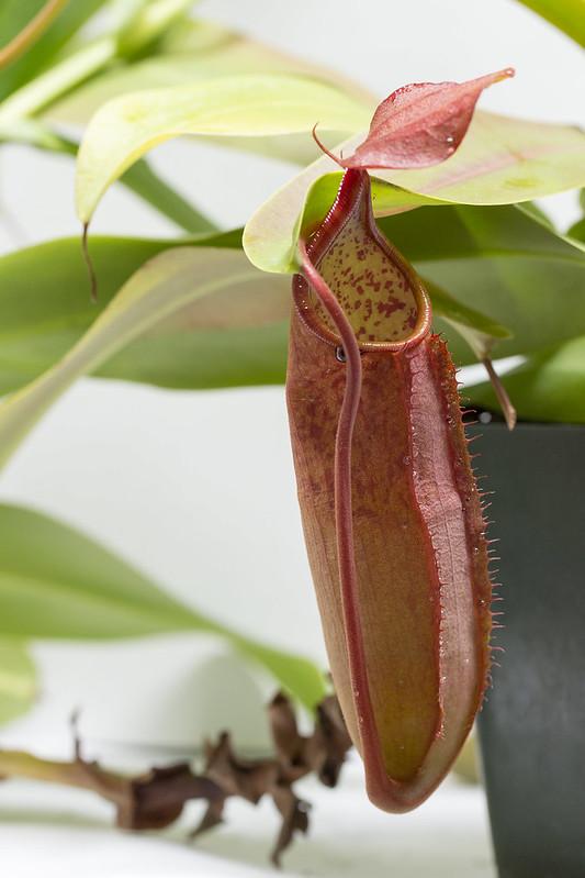 N. sanguinea