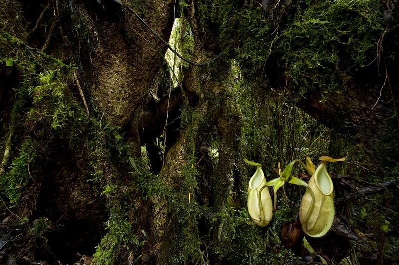 Carnivores et orchidées in situ  - Page 2 23870488634_3ab1ca392d_c