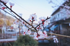 櫻花 桜 Cherry Blossoms