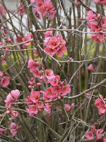 arbre rose