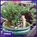 Bonsai —Brian Wheat, AAF, PFCI, of Lafayette Florist, Gift Shop & Garden Center in Lafayette, Colorado