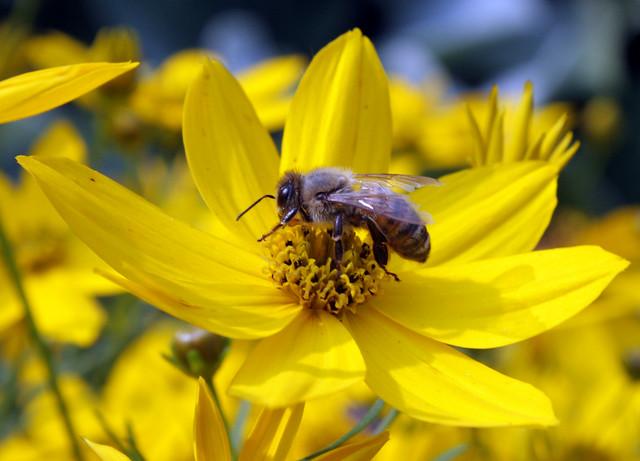honeybee standing on the disk floret