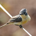 Broad-billed Flycatcher by Janis May