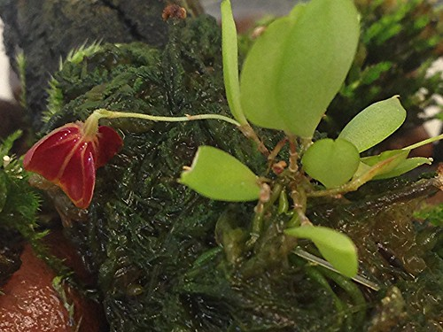 Lepanthes telipogoniflora in bud, almost ready to open!