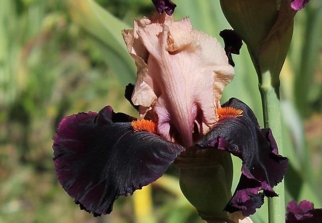 Iris Ocelot