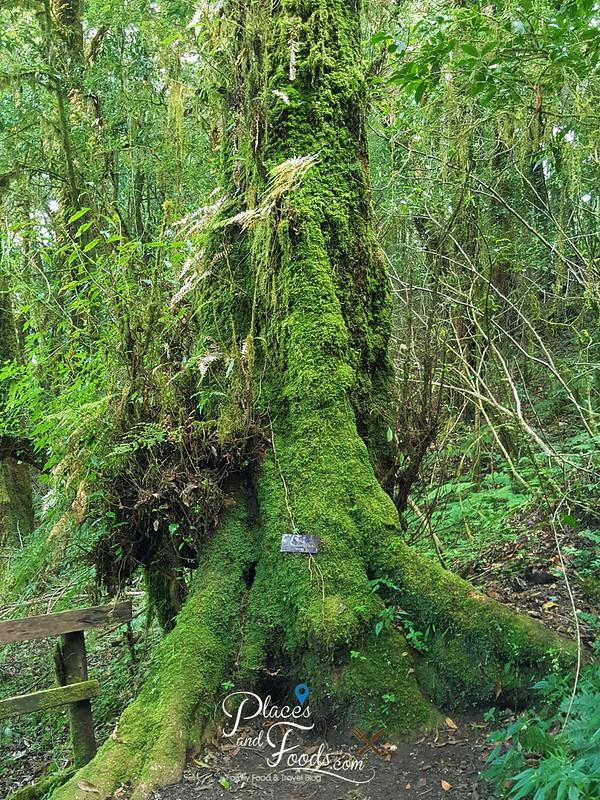 doi inthanon ang ka nature trail big tree