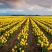 Skagit Valley Daffodil Field by EdBob