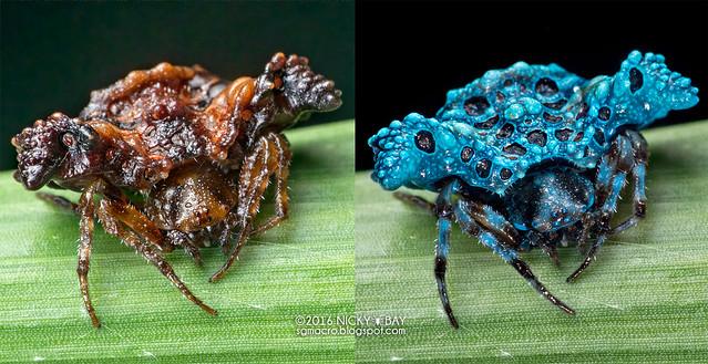 Bird dung spider (Pasilobus sp.) - Pasilobus_DSC_3543x