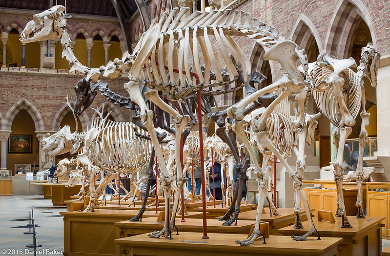 Dinosaur skeletons at the Oxford University Museum of Natural History