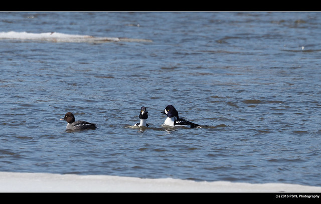 Common and Barrow's Goldeneyes