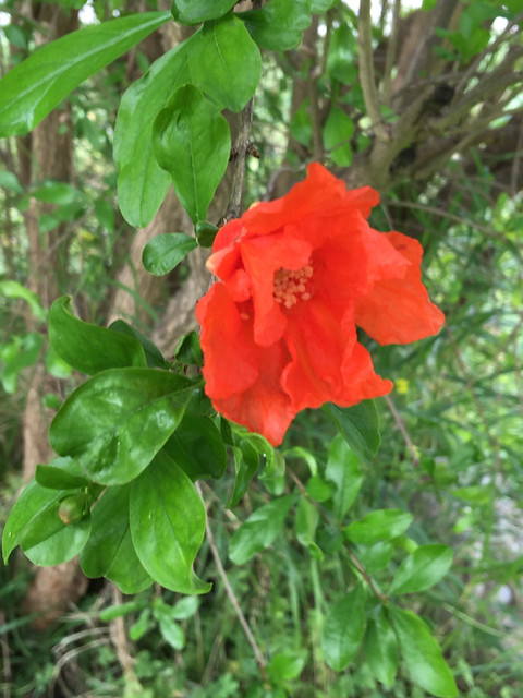 20160409_6614-pomegranate-flower_resize